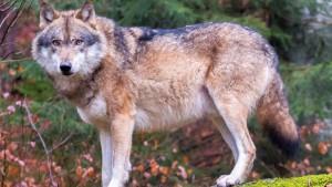 wolf-wikipedia