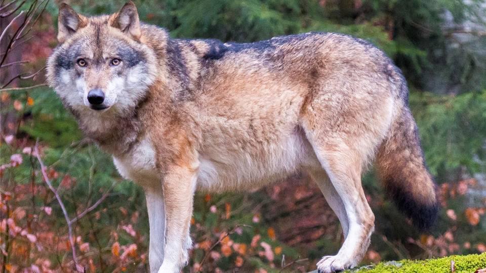 Der Mythos Vom Letzten Wolf Jos A Massard